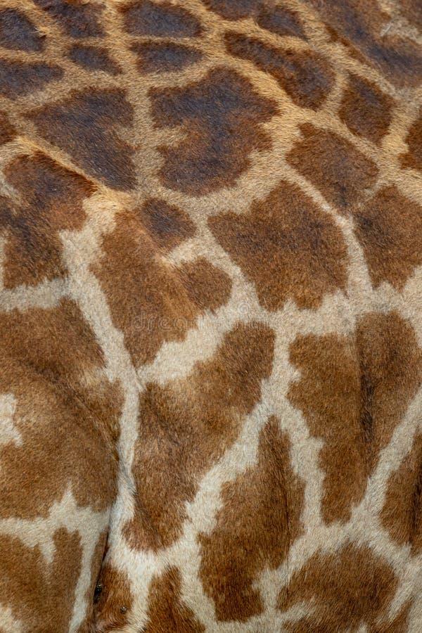 De huid van Masaimara giraffe, op safari, in Kenia, Afrika royalty-vrije stock afbeelding