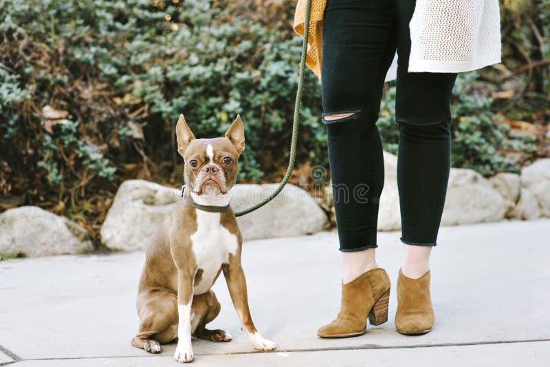 De huisdierenhond Boston Terrier zit naast Zijn Vrouwelijk Eigenaarweergeven van Vrouwelijke Benen royalty-vrije stock foto's