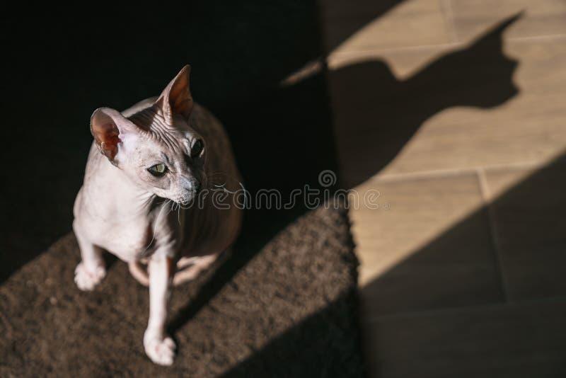 De huisdierenkat is Don Sphynx in een straal van licht met een schaduw royalty-vrije stock foto