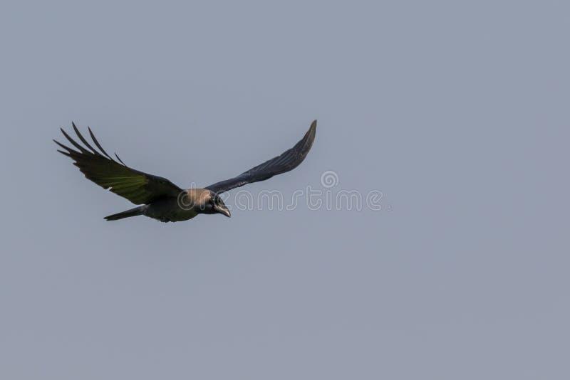 De huiskraai Corvus splendens, stock fotografie