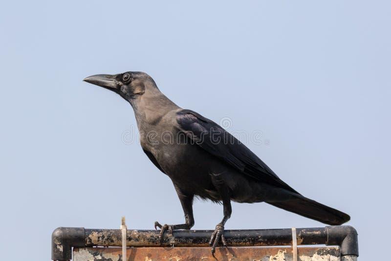 De huiskraai Corvus splendens, stock afbeeldingen