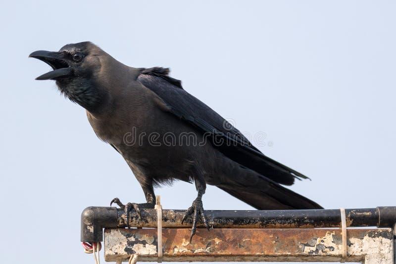 De huiskraai Corvus splendens, royalty-vrije stock afbeeldingen