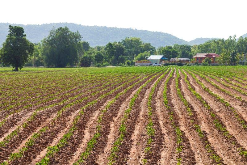 De huisvesting van de maniokaanplanting royalty-vrije stock afbeelding