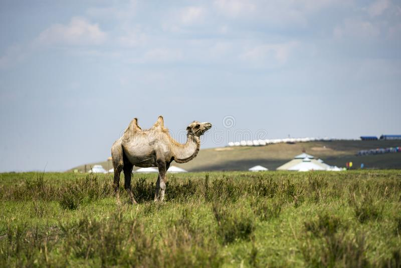De huluunbuir prairie kamelen royalty-vrije stock afbeelding