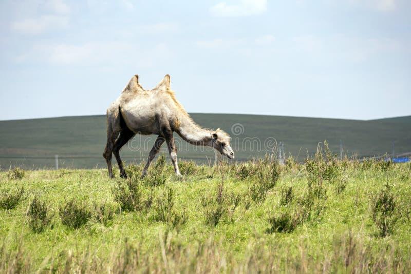 De huluunbuir prairie kamelen royalty-vrije stock foto