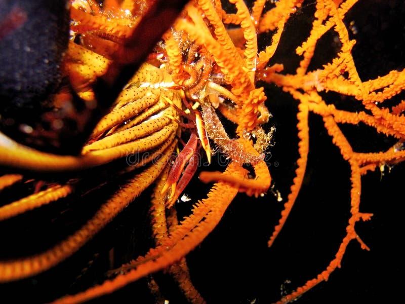 De Hurkende Zeekreeft van Crinoid stock afbeelding