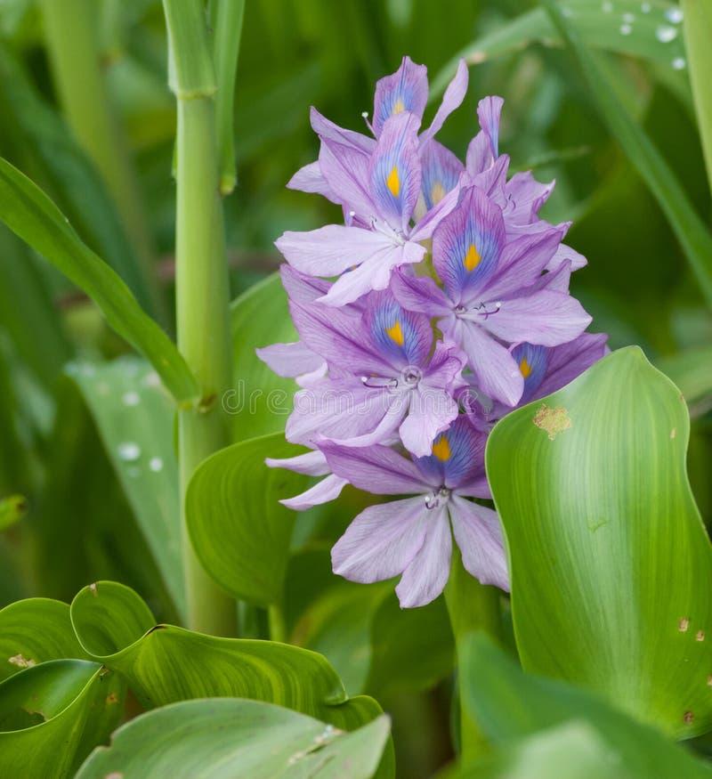 De Hyacint van het water royalty-vrije stock foto's