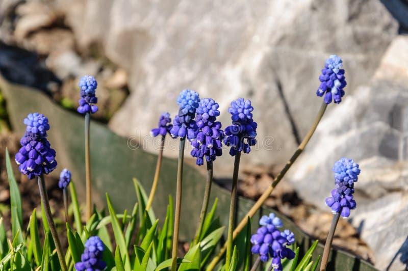 De hyacintbloemen van de lentemuscari De allereerstee bloemen Gevoelige de lentebloemen 8 maart royalty-vrije stock foto