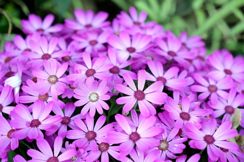 Download De Hybride Bloem Van Osteospermum Stock Afbeelding - Afbeelding bestaande uit groen, bloemen: 29511651