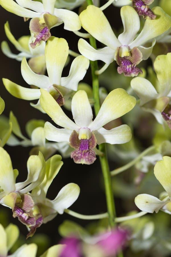 De hybride witte en groene bloem van de dendrobiumorchidee royalty-vrije stock fotografie