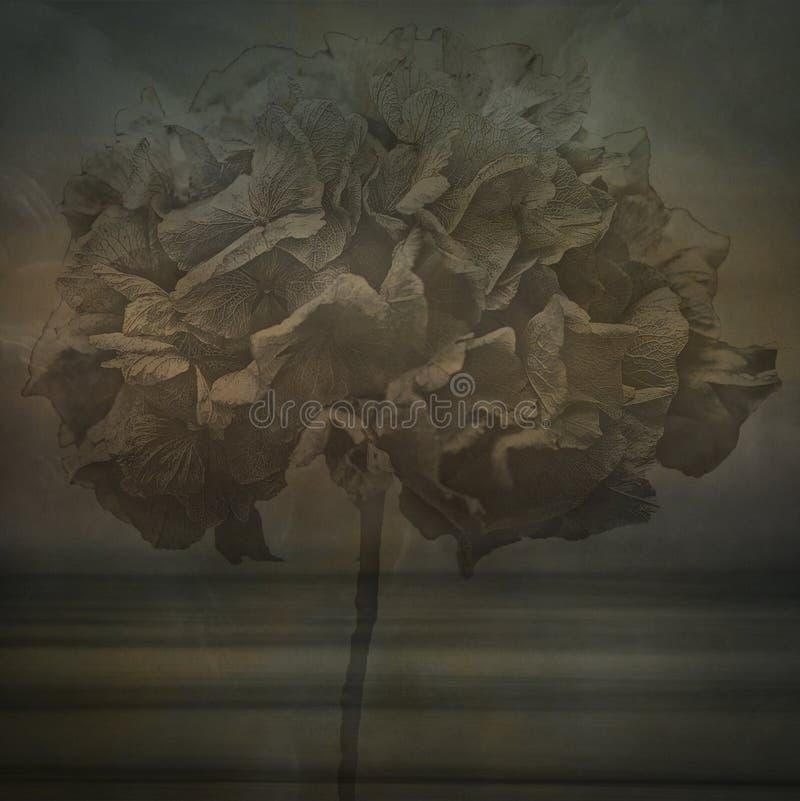 De Hydrangea hortensia van Lacecap stock fotografie