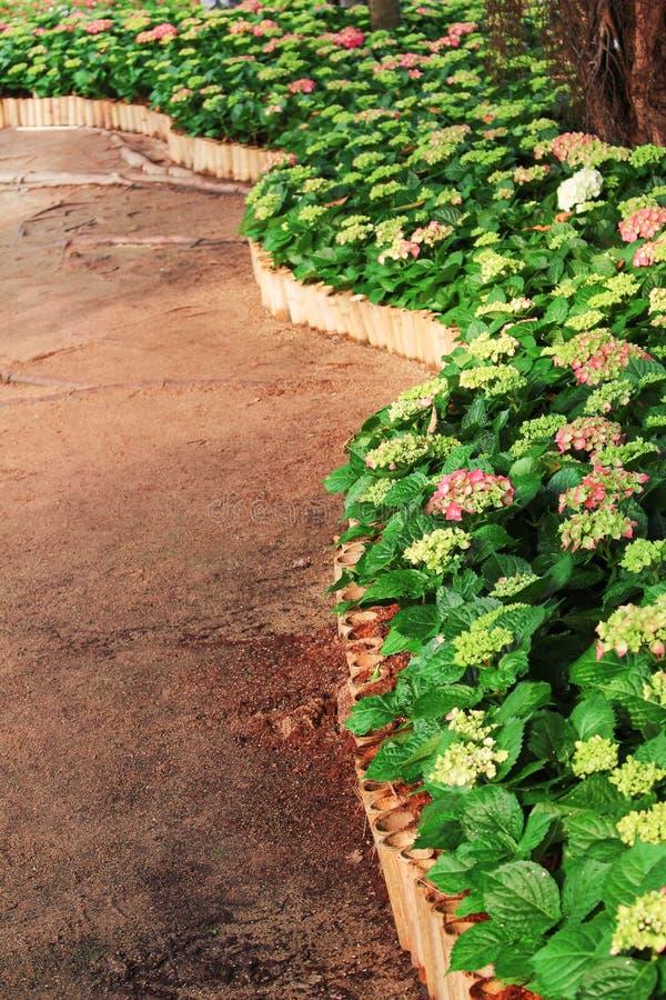 De hydrangea hortensiabloemen met groene bladeren die in ochtendtuin en bamboe bloeien perken krommepatronen in stock foto