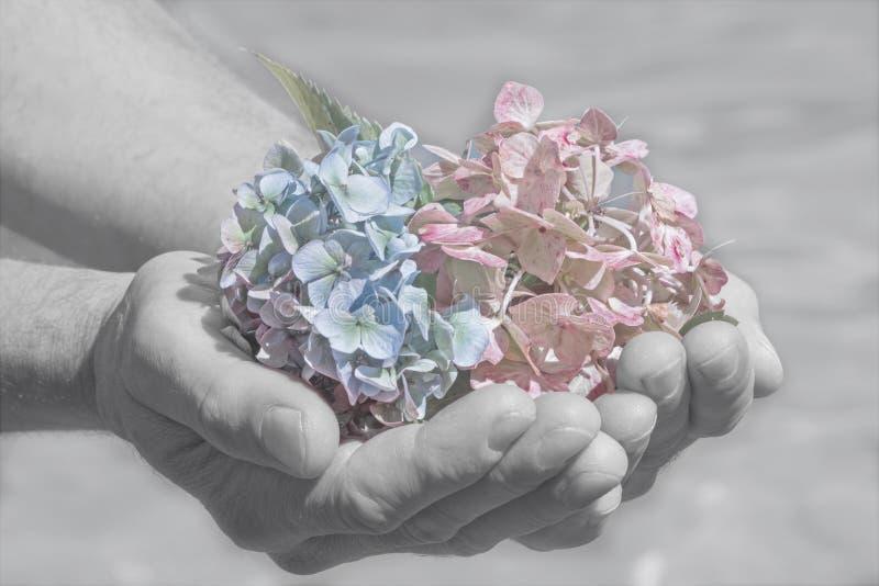 De hydrangea hortensiabloesems in a bemant hand, afscheidsscène royalty-vrije stock afbeelding