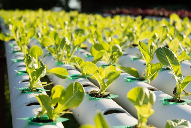 De hydrocultuur Organische hydroponic groente in cultuurlandbouwbedrijf royalty-vrije stock afbeeldingen