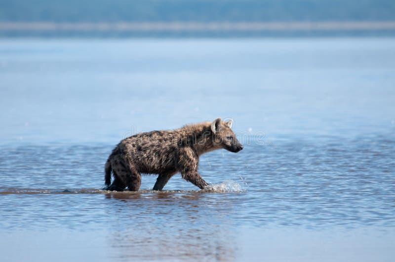 De Hyena Op Snuffelt Rond Stock Foto's