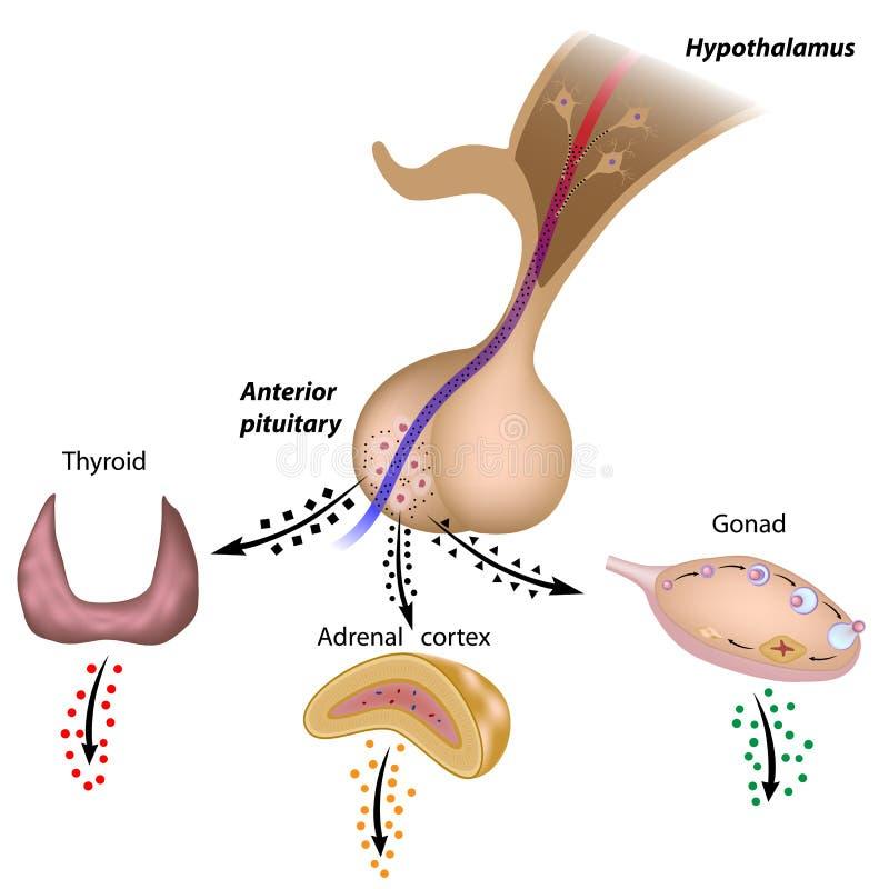 De hypothalamic hypofysyxorna royaltyfri illustrationer