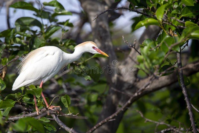 De ibis van de aigrettebubulcus van het vee royalty-vrije stock fotografie