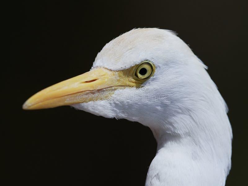 De ibis van de aigrettebubulcus van het vee stock afbeeldingen