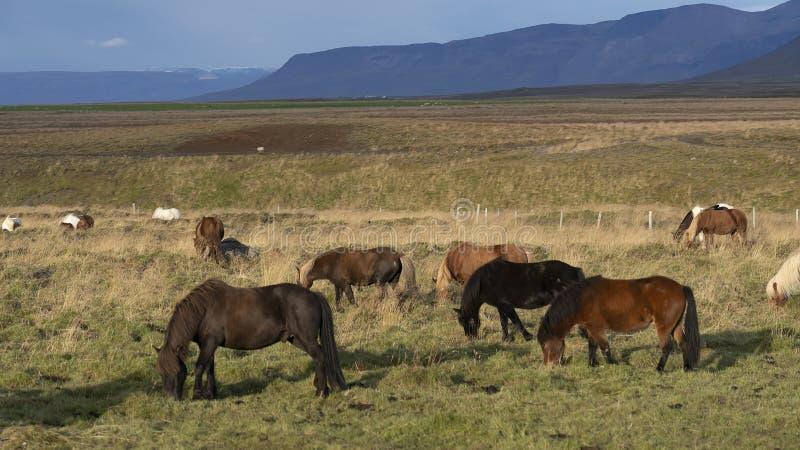 De iconic isländska hästarna som betar på gräsängarna nära Hofn, östliga Island royaltyfria foton