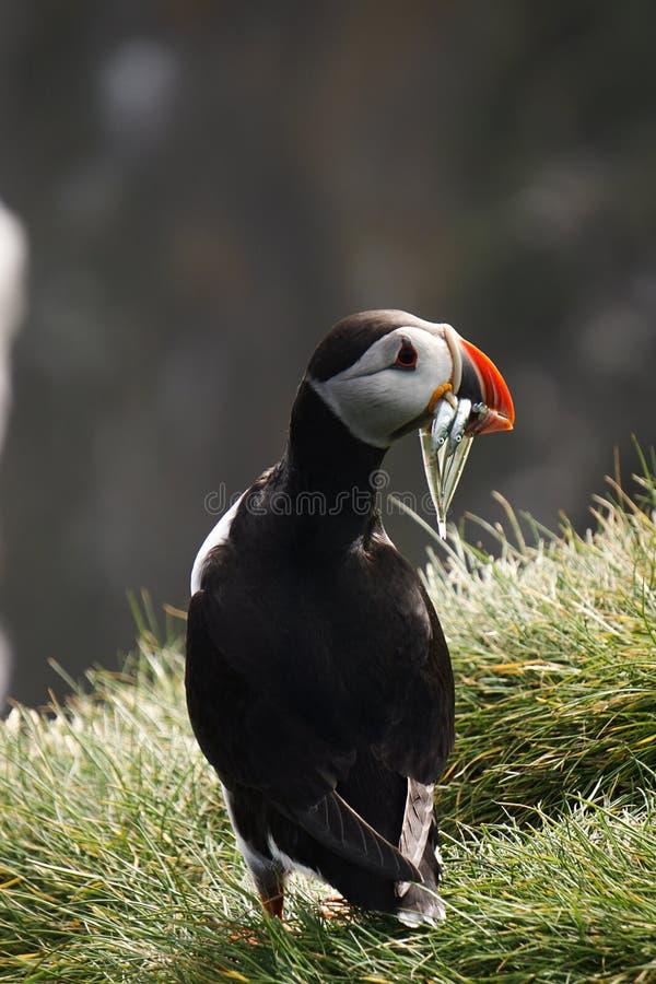 De iconische papegaaiduiker in IJsland royalty-vrije stock foto's