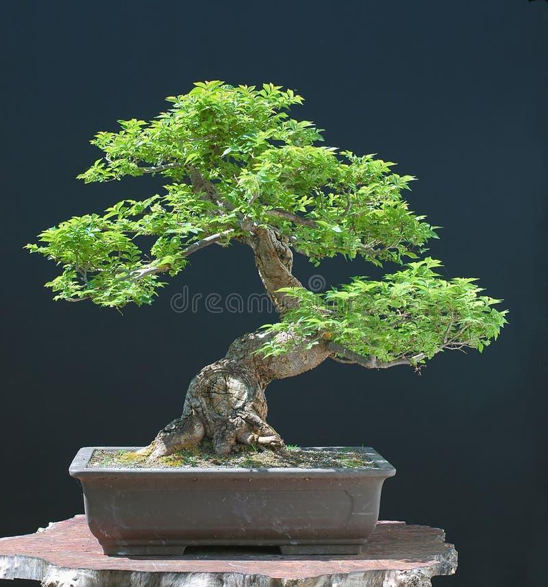 De iep van Hilllieri als bonsai royalty-vrije stock afbeeldingen