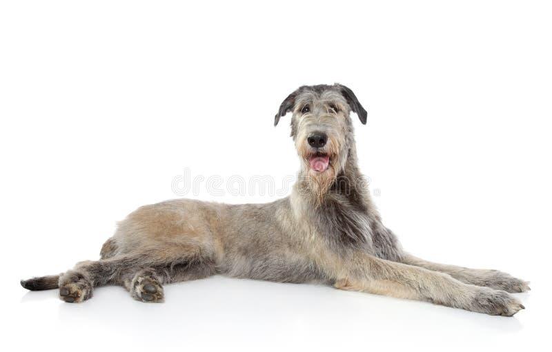 De Ierse hond van de Wolfshond stock afbeelding