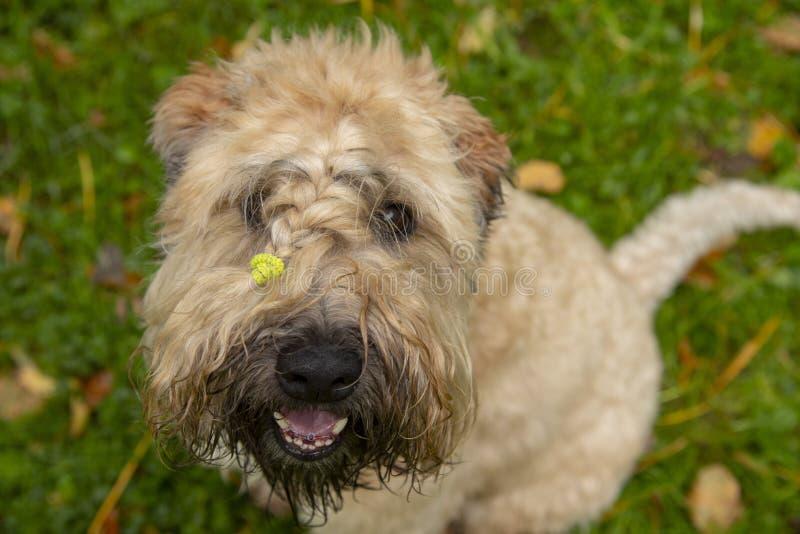 De Ierse weide 'soft-coated Terrier' kijkt naar de camera en glimlacht royalty-vrije stock afbeelding