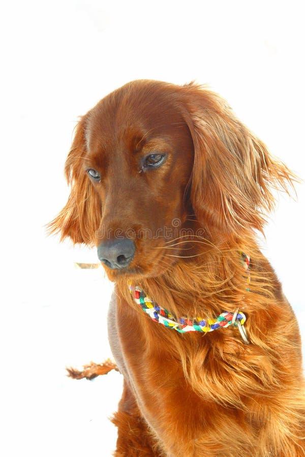 De Ierse Zetter van de hond stock afbeelding