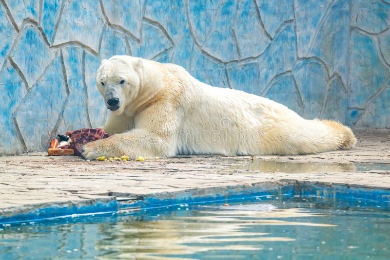 De ijsbeer of Ursus-maritimus in gevangenschap eten vlees naast pool stock fotografie