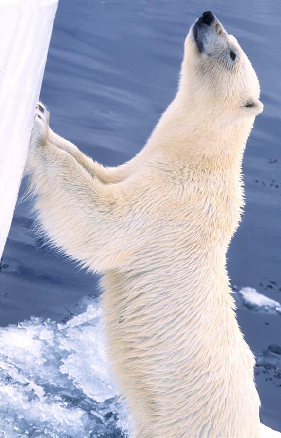 De ijsbeer wil binnen royalty-vrije stock foto