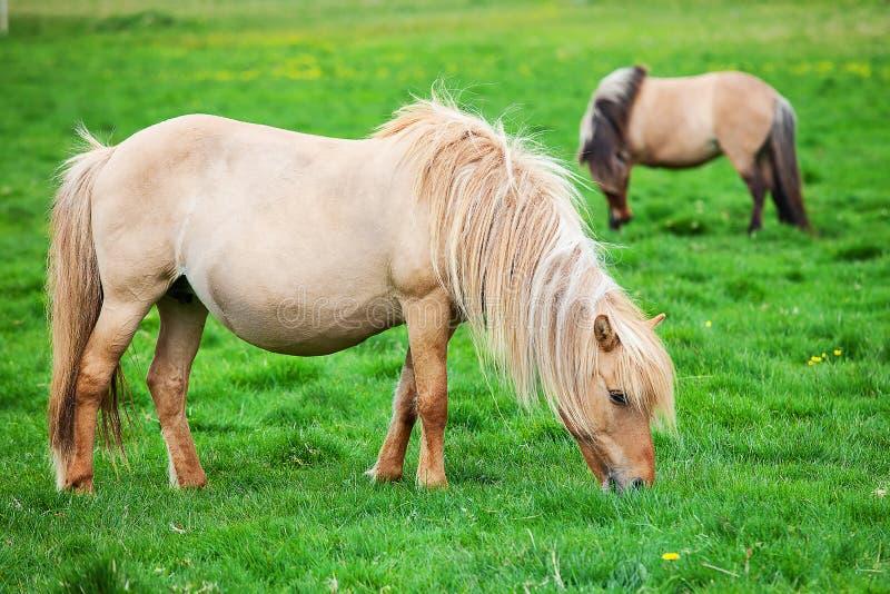 De Ijslandse paarden weiden op een groene weide royalty-vrije stock foto's