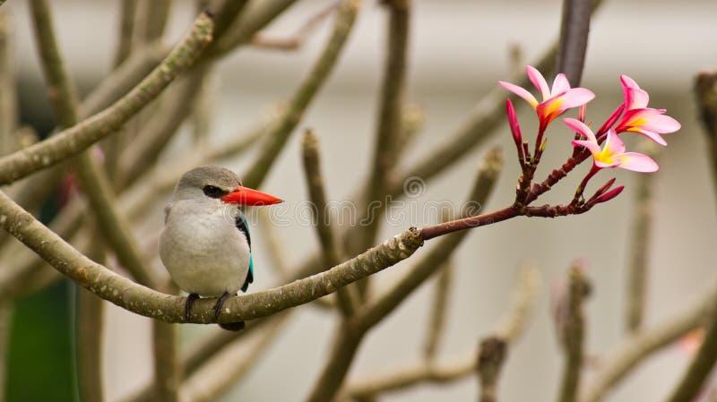 De Ijsvogel van de mangrove met bloemen royalty-vrije stock afbeelding