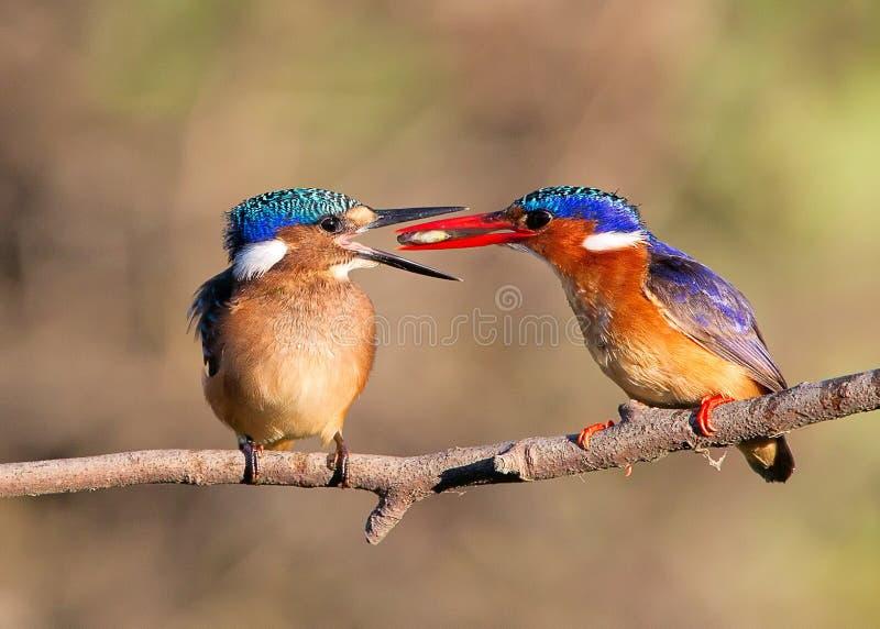 De Ijsvogel van het malachiet stock afbeeldingen