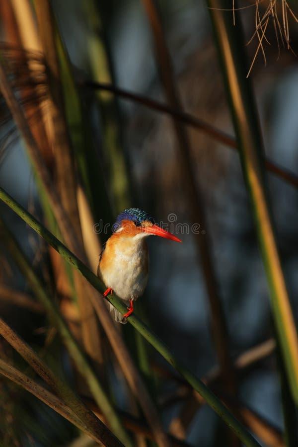 De Ijsvogel van het malachiet stock foto's