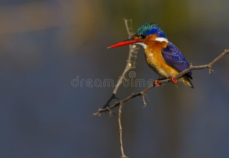 De Ijsvogel van het malachiet tegen een super achtergrond stock afbeelding