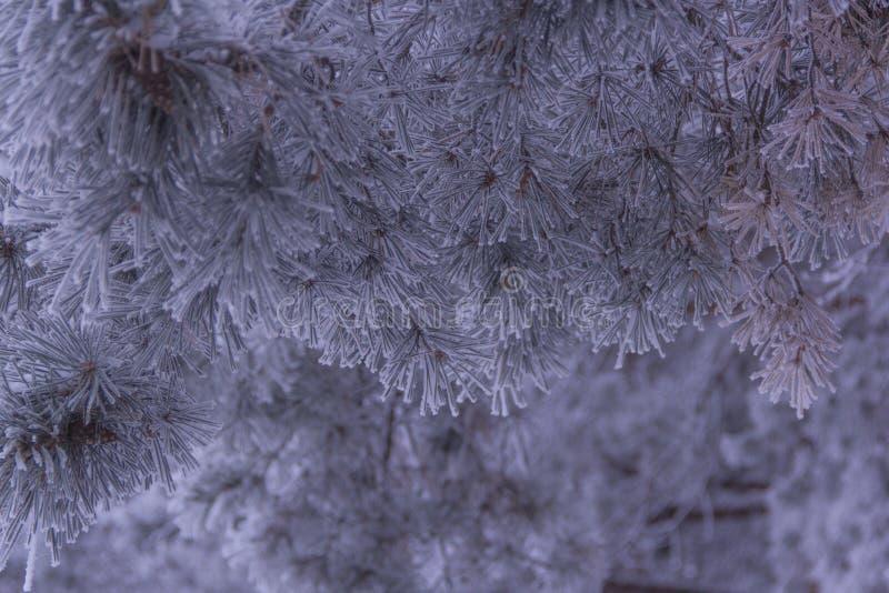 De ijzige ochtend van pijnboomnaalden royalty-vrije stock afbeelding