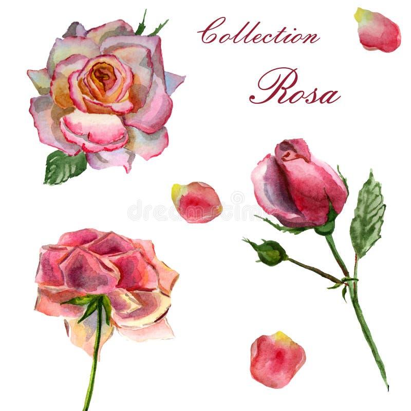 De illustratie van de bloemenwaterverf Reeks roze rozen op een witte achtergrond stock illustratie