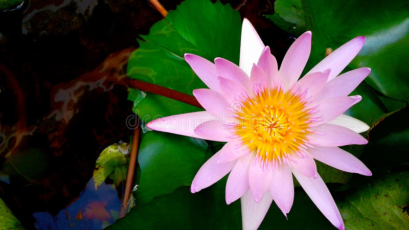 De illustratie van de bloemZen van Lotus stock fotografie