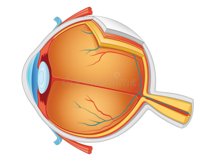 De illustratie van de ooganatomie royalty-vrije illustratie