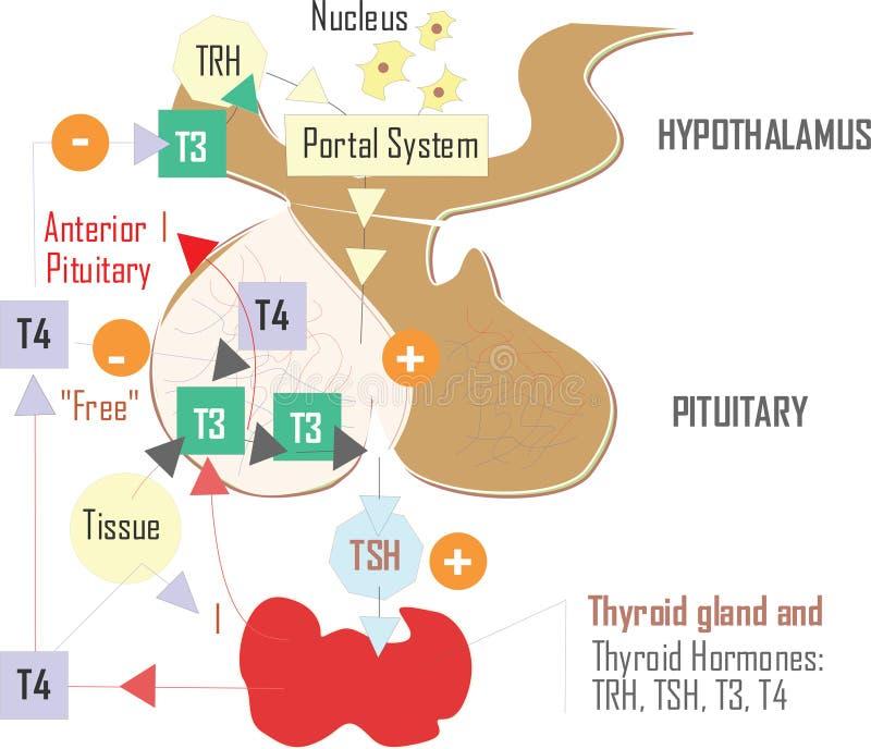 De illustratie van de doktershypothalamus, lichaamsdeel stock illustratie