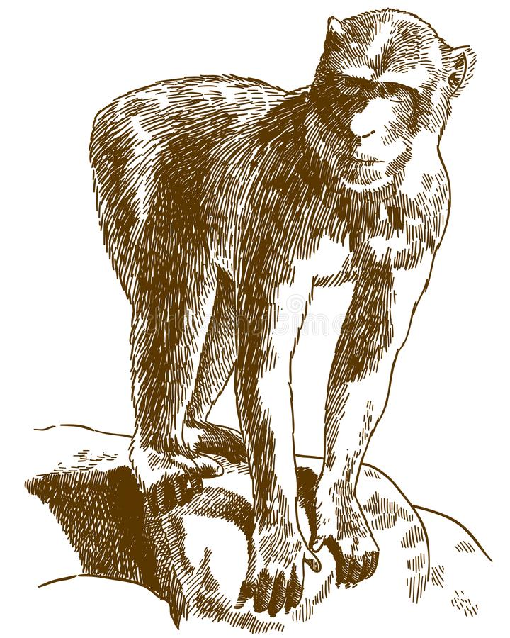 De illustratie van de gravuretekening van Barbarije macaque vector illustratie