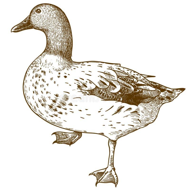 De illustratie van de gravuretekening van eendvogel royalty-vrije illustratie