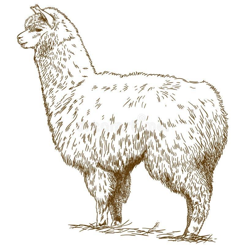 De illustratie van de gravuretekening van pluizige lama royalty-vrije illustratie