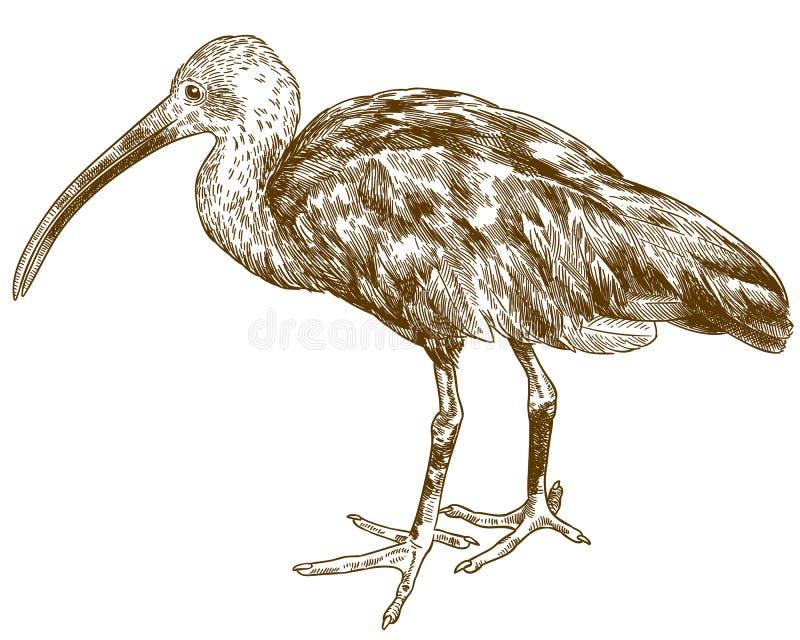 De illustratie van de gravuretekening van scharlaken ibis royalty-vrije illustratie
