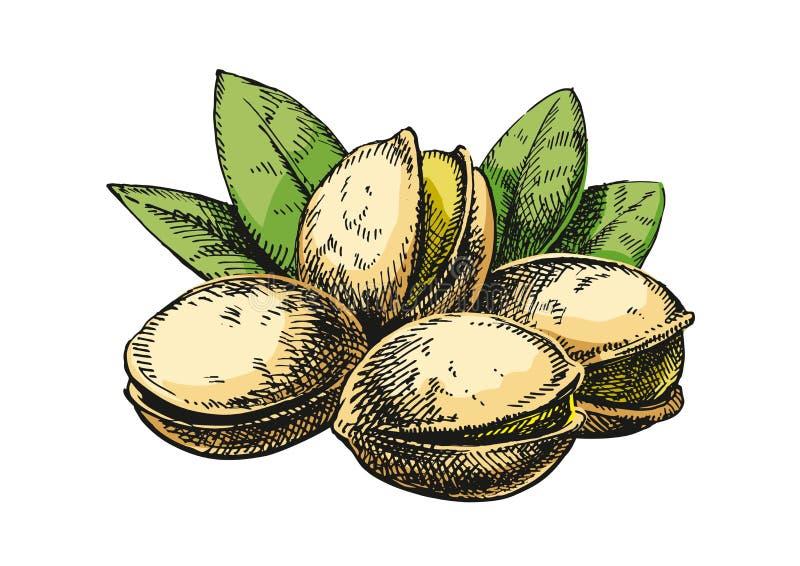 De illustratie van de pistachesschets versie stock foto