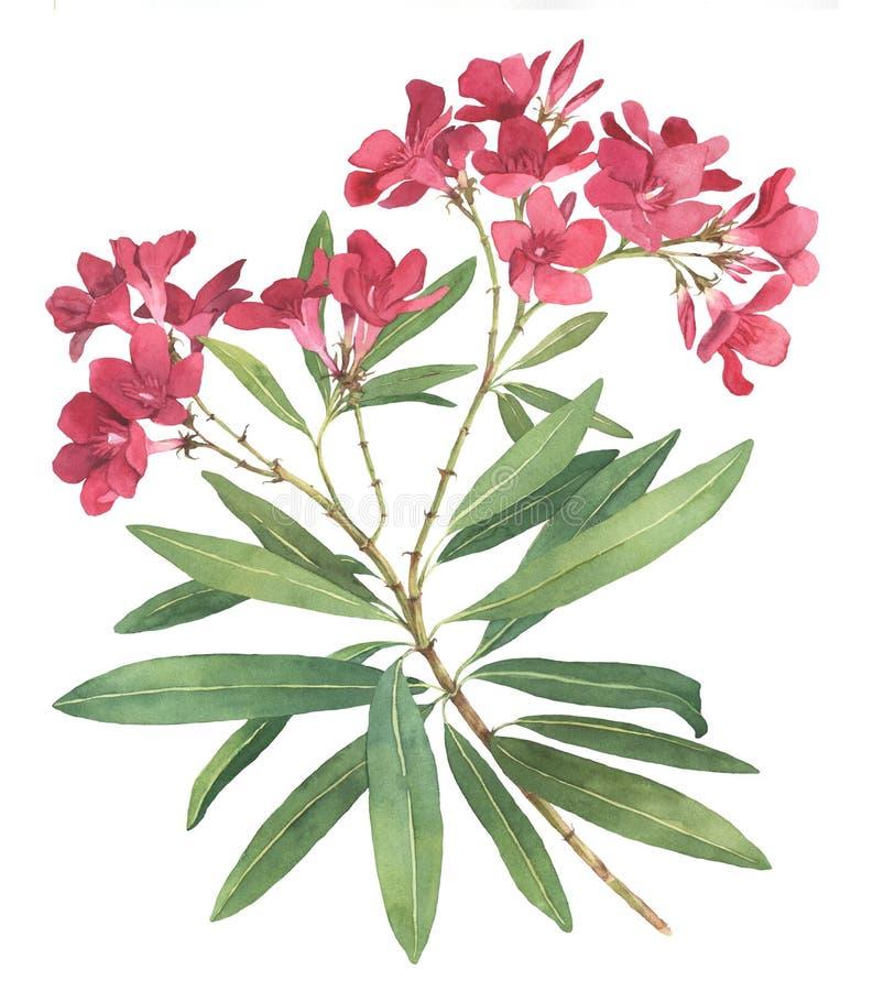 De illustratie van de rododendronwaterverf stock illustratie
