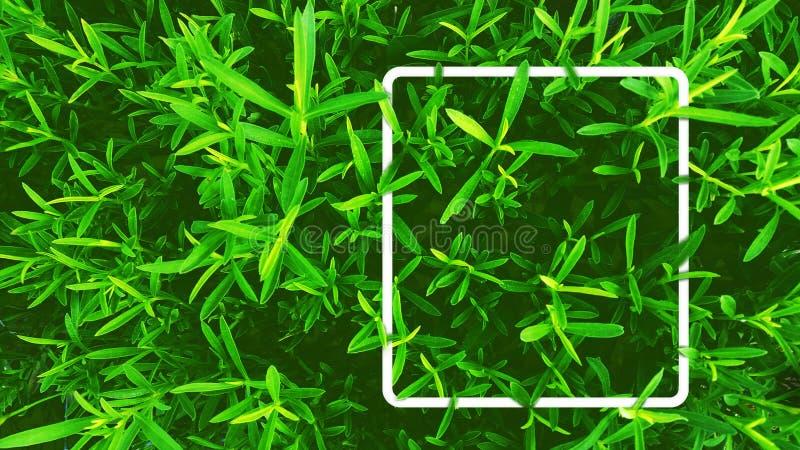 De illustratie van verse groene dragon doorbladert met wit rechthoekkader Voor natuurlijk, kruiden, tuin, organisch, met betrekki stock foto's