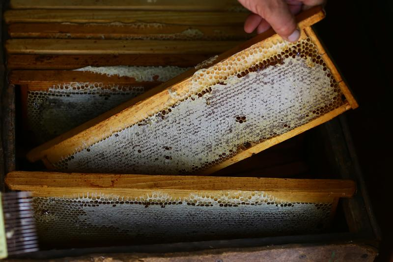 De imker houdt een honingscel met bijen in zijn handen Bijenteelt apiary Kaders van een bijenkorf verzamelt honing royalty-vrije stock foto's
