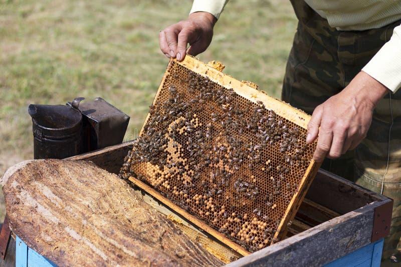 De imker neemt de honingraat van de bijenkorf Honingraten met verse honing in de bijenstal Kader met honingsclose-up Het oogsten royalty-vrije stock foto's