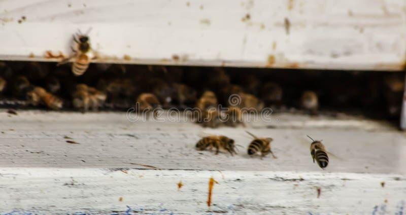 De imkerij of de bijenteelt zijn het fokken van bijen om de producten van de bijenkorf te exploiteren waar door dit wij een bijen royalty-vrije stock foto's